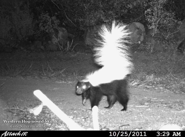 Hog-nosed-skunk